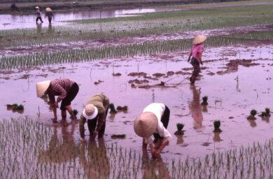 fleuve rouge riziculture