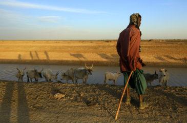 Senegal, Saint Louis, delta du fleuve Senegal, canal d'irrigation, environs du Parc National des oiseaux du Djoudj, berger et son troupeau de zebus