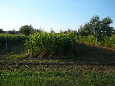 Agroforesterie_(maïs_et_châtaigners)