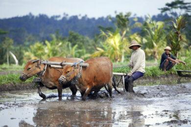 Indonesie, ile de Bali, region du Mont Agung, village de Geriana Kauh, travail dans les rizieres